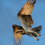 WSBWildlife Osprey