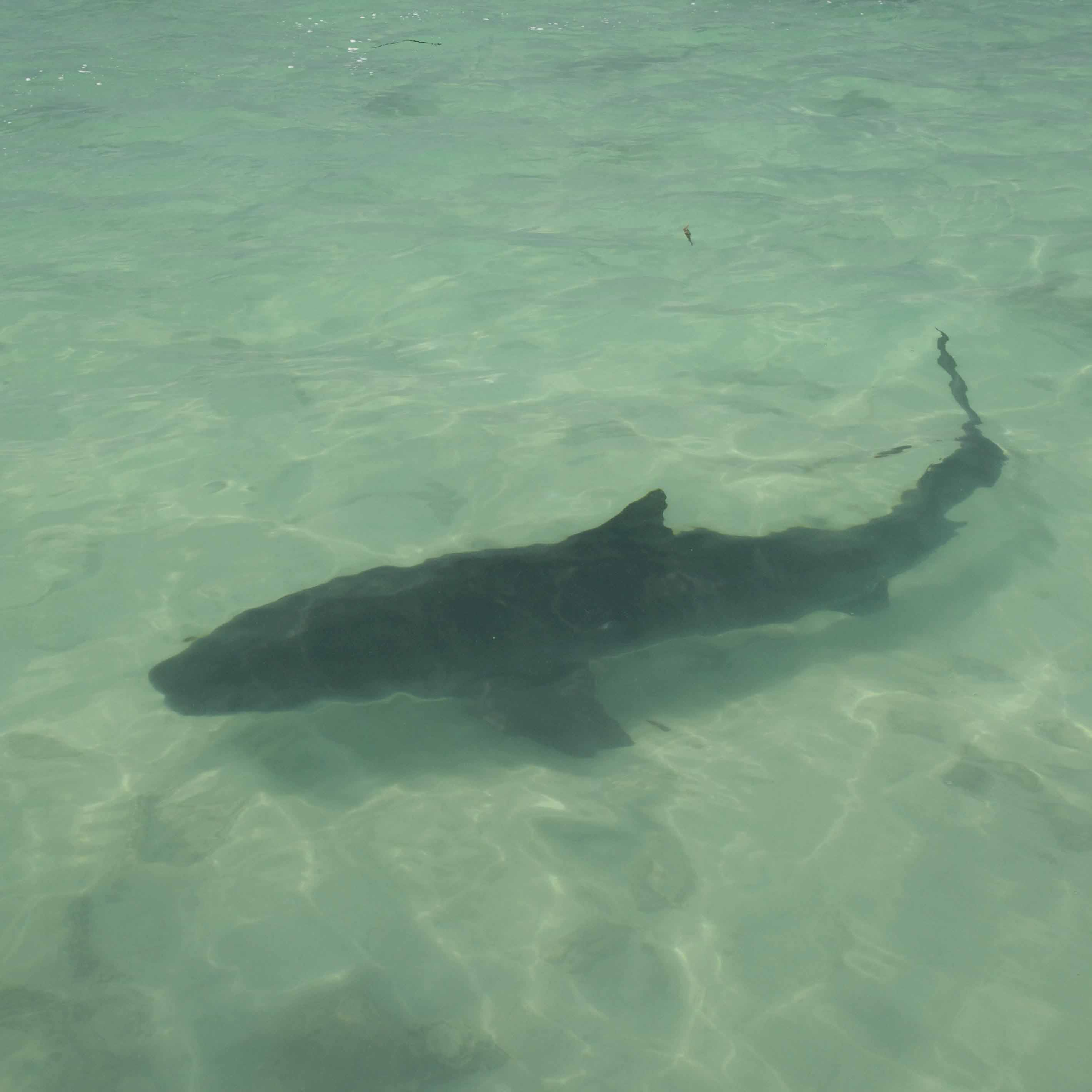 1e Square Tiger shark (ESB)