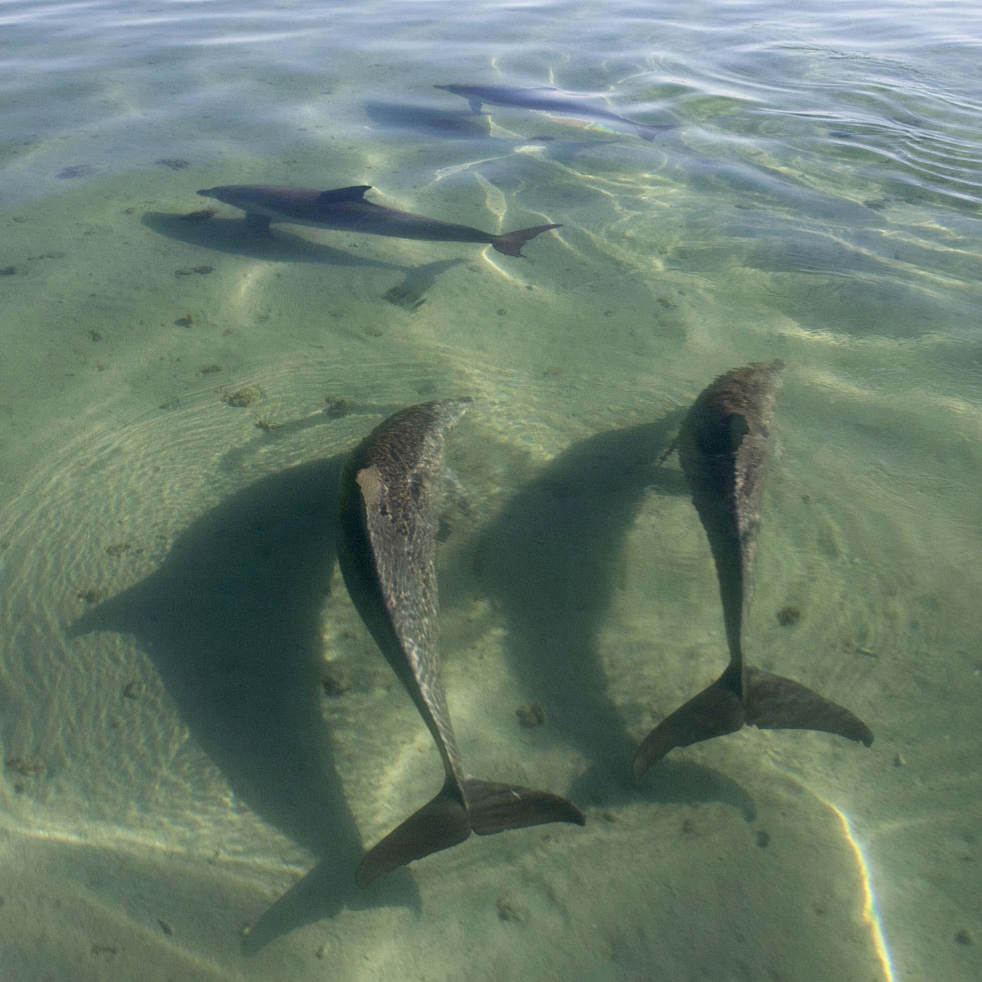2 Square Four dolphins shallows (WSB)