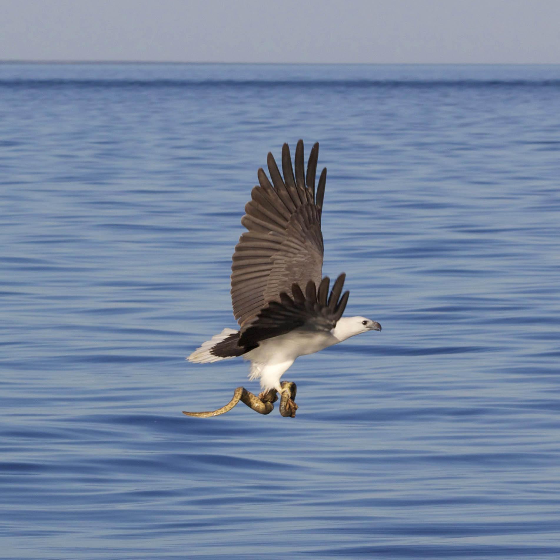 5 Square Sea eagle and snake (WSB)